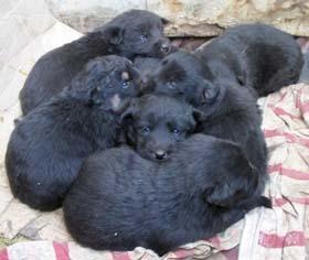 6匹の赤ちゃん犬